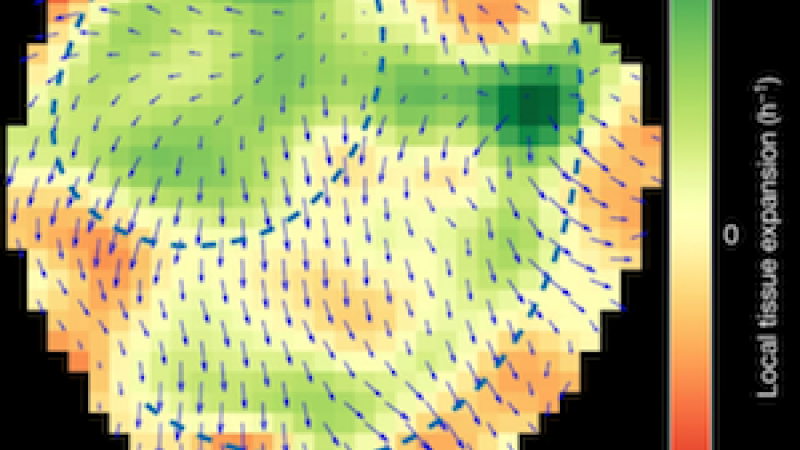 Tissue velocity field and its divergence