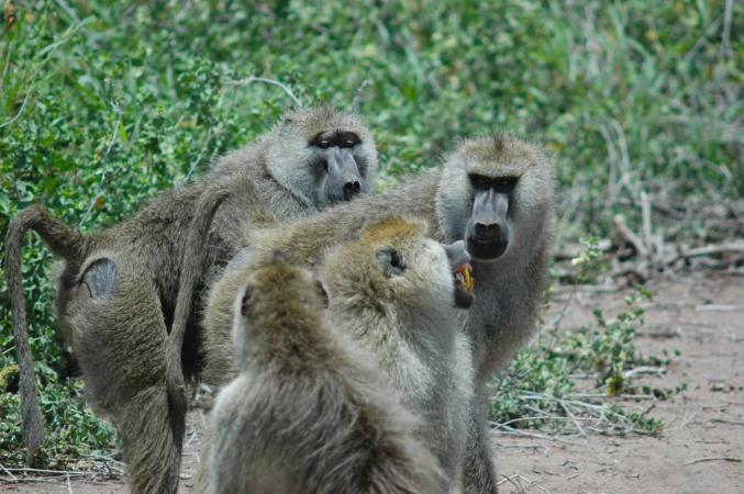 three baboons in the wild