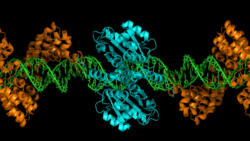 Cartoon crystal structure of the TALEN gene editing technology. (Credit: Gersbach Lab)